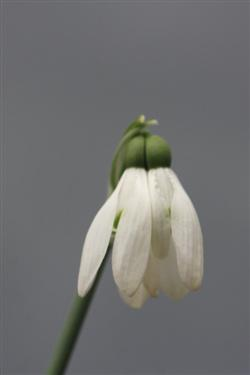 galanthus nivalis forms, snowdrops forms, snowdrop form, special snowdrop, rare snowdrop, rare galanthus