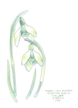 galanthus greeting card 2209