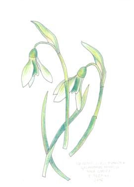 galanthus greeting card 2211