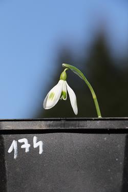 Galanthus nivalis forms sale 2019