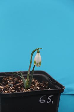 Galanthus nivalis forms sale 2020