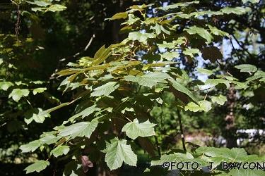 Acer pseudoplatanus \'Atropurpureum\'