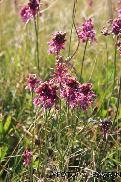 Allium carinatum subsp. carinatum