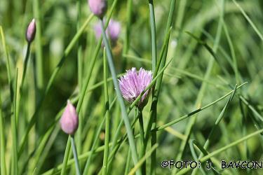 Allium schoenoprasum subsp. schoenoprasum