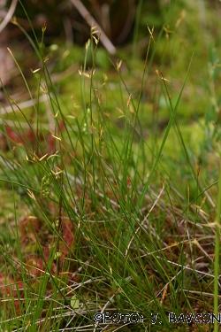 Carex pauciflora