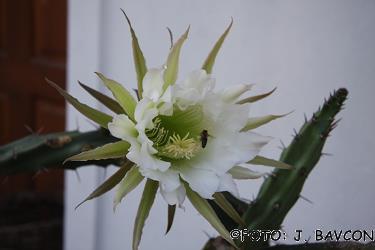 Cereus grandiflorus