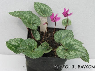 Cyclamen purpurascens \'Šmarna Gora\'