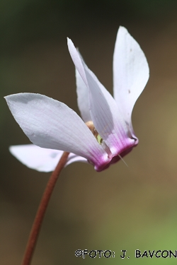 Cyclamen purpurascens \'Belkasti\'