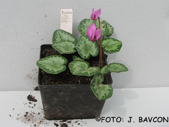 Cyclamen purpurascens \'Božakovo\'