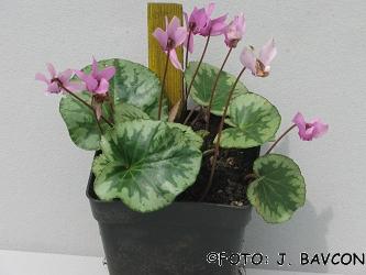 Cyclamen purpurascens \'Castra\'