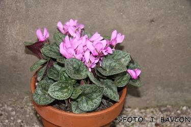 Cyclamen purpurascens \'Celje\'