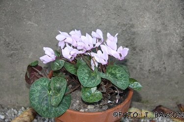 Cyclamen purpurascens \'Eva\'