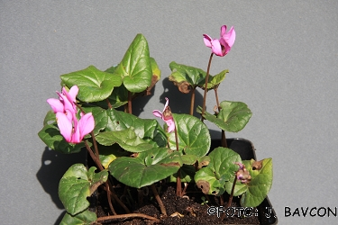 Cyclamen purpurascens \'Gozd\'