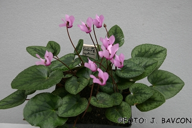 Cyclamen purpurascens \'Jelenk\'
