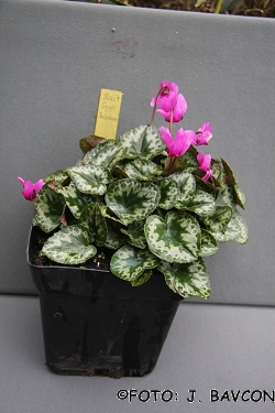 Cyclamen purpurascens \'Kolpa\'