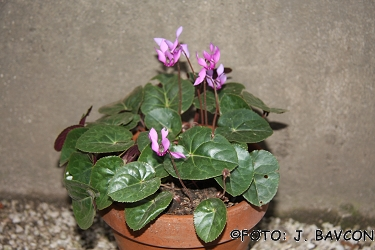 Cyclamen purpurascens \'Kozjansko\'