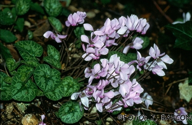 Cyclamen purpurascens \'Lila\'