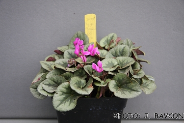 Cyclamen purpurascens \'Metlika\'
