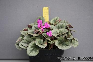 Cyclamen purpurascens \'Metlika\'