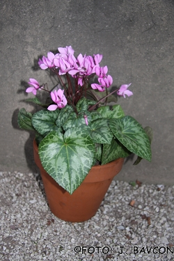 Cyclamen purpurascens \'Pik\'