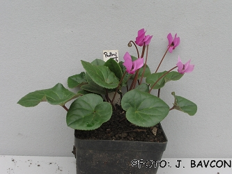 Cyclamen purpurascens \'Podkraj\'
