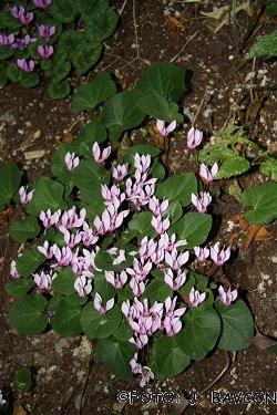 Cyclamen purpurascens \'Podsreda\'
