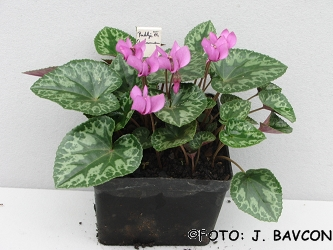Cyclamen purpurascens \'Radlje\'