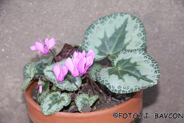 Cyclamen purpurascens \'Rosalnice\'