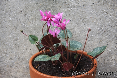 Cyclamen purpurascens \'Sv. Gora\'