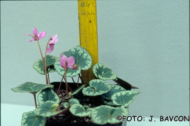Cyclamen purpurascens \'Vipava\'