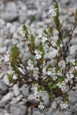 Euphrasia salisburgensis