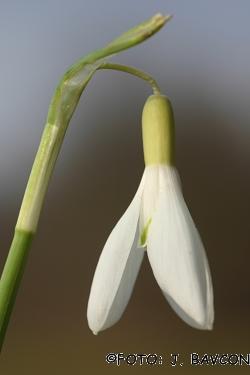Galanthus nivalis \'Beloglavi\'