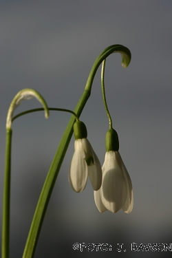 Galanthus nivalis \'Col\'
