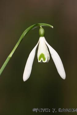 Galanthus nivalis \'Duet\'