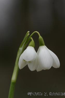 Galanthus nivalis \'Dvocvetna Krinolinca\'