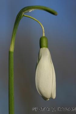 Galanthus nivalis \'Giant\'