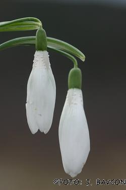 Galanthus nivalis \'Hrastovlje\'