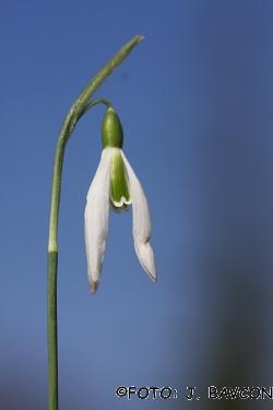 Galanthus nivalis \'Koper - Capodistria\'