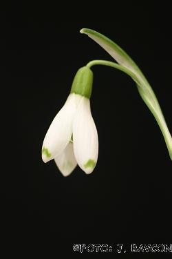 Galanthus nivalis \'Lea\'