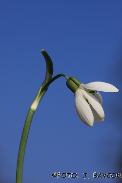 Galanthus nivalis \'Siamski Dvojčki\'
