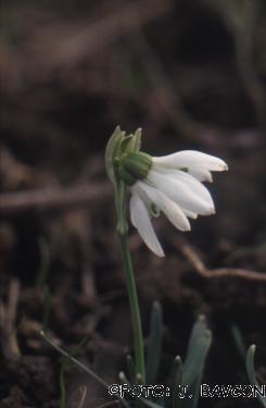 Galanthus nivalis \'Siamski Trojčki\'