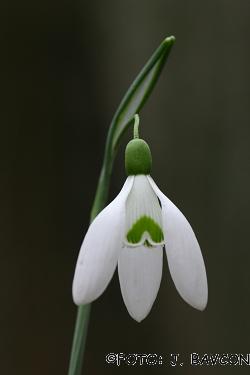 Galanthus nivalis \'Zeleni A\'
