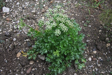 Hladnikia pastinacifolia