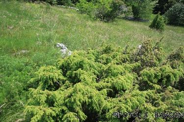 Juniperus alpina