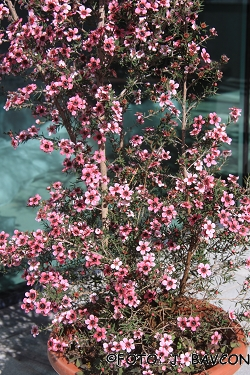 Leptospermum scoparium \'Pink Queen\'