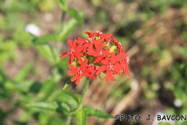 Lychnis chalcedonica