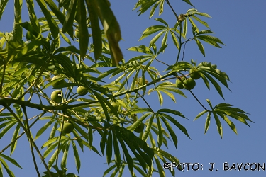 Manihot palmata