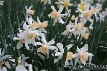 Narcissus bicolor