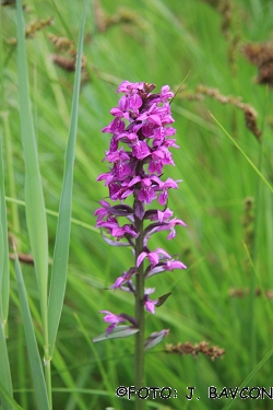 Orchis palustris