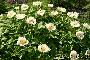 Paeonia wittmanniana